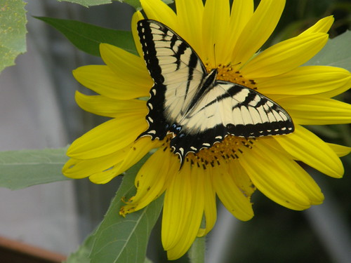 Tiger Swallowtail on sunflower