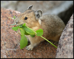 Pika (gainesp2003) Tags: nature rodent colorado wildlife pica alpine co mountevans pika mtevans mtevanswilderness