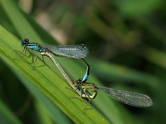 Making love (Wilma1962*) Tags: macro mating damselfly paring lantaarntje juffer bluetaileddamselfly raynoxdcr150 paringswiel mygearandmepremium mygearandmebronze mygearandmesilver mygearandmegold lantaarnjuffer