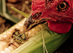 The Early Bird (vividcorvid) Tags: red food plant abstract color green bird chicken vegetables animal barn bug insect corn outdoor farm unitedstatesofamerica beak maryland places caterpillar ear produce cob hen comb kernel earworm kennedyville crowfarm