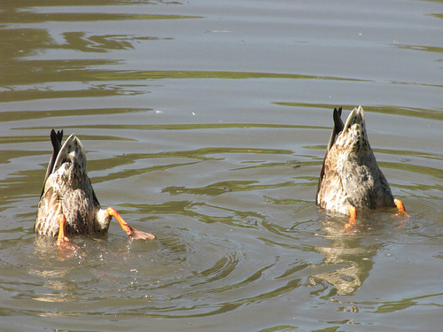 Duck synchronized swimming