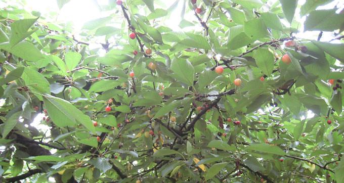 Cay Cherry vang
