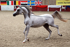 arab horse shown in hand (pg tips2) Tags: show summer horses horse international arab ponies arabian aug 2010 equus arabs arabians equines towerlands arabhorse arabhorses ukiahs ukinternationalarabhorsesociety2010