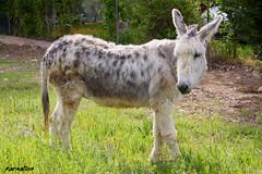 donkey (KARNATION) Tags: peace donkey paz burro pace asno burrito mulo burrita mula burra pollino borrico pollina borrica karnation