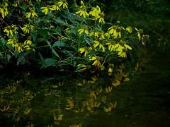 falling (leafy) Tags: morning flowers urban reflection sunrise stream pittsburgh restoration frickpark ninemilerun wetland ecosystem nmrwa nativehabitatrestoration ninemilerunorg