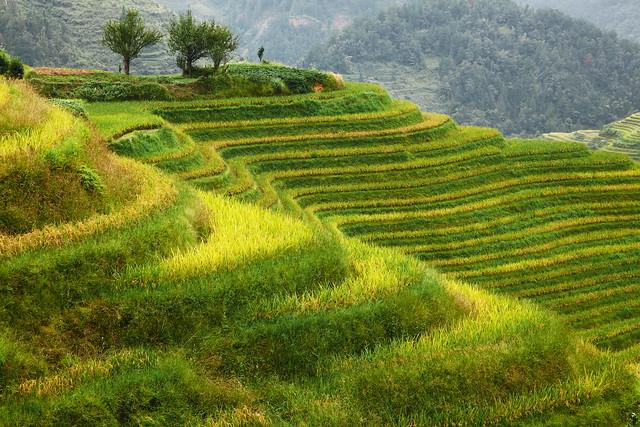 Harvest season is coming soon, Longsheng Rice Terrace, Guangxi, China