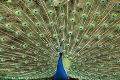 In voller Pracht (Cornelia G.Becker (soulll59)) Tags: bird animal animals germany deutschland tiere peacock tier vogel pfau grosaufnahme soulii59