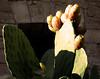 Fichi d'india al Castello di Alcamo (TP) ([ La Lontra ] Fabrizio Fazzari) Tags: estate poesia sicilia paesaggio fichidindia 2010 trapani tradizioni alcamo tradizione sicilianità sicilia2010