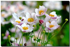 Anemone (PHOTOPHOB) Tags: flowers autumn summer plants plant flores flower macro nature petals spring flickr dof estate bokeh sommer herbst natur flor pflanze blumen zomer verano otoo vero t blume ranunculaceae outono frhling jesie windrschen lato lto sonbahar herbstanemone efterr explored anmones photophob wonderfulworldofflowers