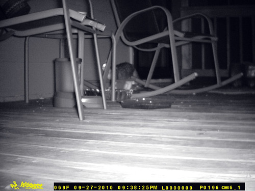 A grainy black and white infrared picture of the porch and feeding station.  Sneaking up behind the legs of the rocking chair is a small tabby and white cat, looking up towards the window where dogs are doubtless pitching a fit.  The time-date stamp reads 09-27-10 09:38:25PM.