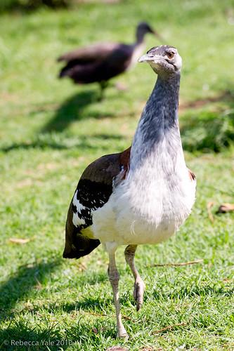 RYALE_African_Dawn_Birds_83
