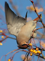 Look What I Can Do...... (alison brown 35) Tags: uk november autumn wild bird nature yellow berries wildlife ngc 300mm bolton rowan waxwing horwich 2010 bombycillagarrulus