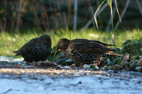 23714 - Starling, Pontarddulais