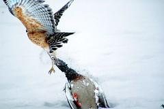 Hawk with duck (petalpusher61) Tags: ohio bird nature closeup duck nikon hawk flight hawkwithprey northeastohio hawkcatchingprey