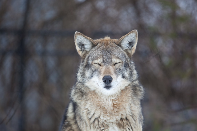 It's f'n cold! Sez the coyote.