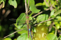 Common Green Darner (Anax junius) 18 (DrLensCap) Tags: park chicago green robert nature insect fly illinois village dragon dragonfly north center il common kramer darner anax junius