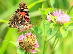 painted lady nectaring on red clover at Cardinal Marsh IA 854A6666 (lreis_naturalist) Tags: painted lady ventral view cardinal marsh winneshiek county iowa larry reis