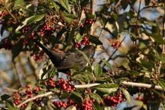 Eurasian blackbird, England (inyathi) Tags: uk ukwildlife britain britishwildlife england englishwildlife birds britishbirds europeanbirds eurasianblackbird turdusmerula thrushes thrush