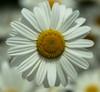 _D714913 (Klaus-Dieter Faust) Tags: nikon d7100 blüten margeriten