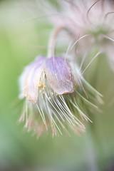dans le vent (rondoudou87) Tags: pentax k1 macro color close closer flower fleur vent wind bokeh dof