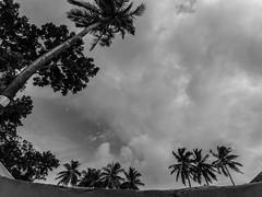 Manikganj,2017 (سلطان محمود) Tags: xiaomi yi action trees coconut cloud sky day bangladesh blackwhite man mahmood manikganj