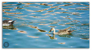 The ripples and the duck on the waters of the Man Sagar Lake!