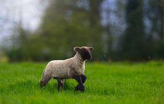'Mary's Boy' (Jonathan Casey) Tags: lamb sheep norfolk horn suffolk somerleyton farm nikon d810 200mm f2 vr