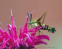 Hummingbird Moth (rumerbob) Tags: hummingbirdmoth moth bug insect peacevalleypark lakegalena nature naturewatcher canon7dmarkii canon100400mmlens macro macroinsect he d