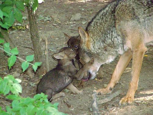wolf met welpjes
