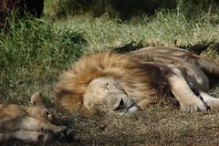 DSC_0629 (jit bag) Tags: wild cats nature animals southafrica big wildlife kittens safari lions felines za johannesburg joburg lionpark gauteng jozi lanseria flickrbigcats