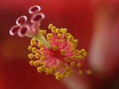 ... tropical hibiscus (dinesh_valke) Tags: evergreen hibiscus hibisco tropical malvaceae hibiscusrosasinensis shrub perennial cayena gumamela ibisco chuchin bungaraya shoeflower chinarose tropicalhibiscus hawaiianflower chinesehibiscus roseofchina rosadechina hawaiianhibiscus mallowfamily fusang rosedechine sembaruthi chineseroos gurhal chemparati jaswand dosniphool jubakusumathonba queenofthetropics hibiscuschinensis blackingplant bussoge chihchin chinesischerroseneibisch cingulu claveljaponés feuilleschoublak hibiskukset jihchi khatmahsiniyah rosadellacina rusang schoensmeerplant sehempariti shoeblackplant worowari
