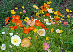 Iceland Poppies (njchow82) Tags: pink flowers orange white plant nature yellow peach lakelouise perennials banffnationalpark canadianrockies coloful icelandpoppies beautifulexpression njchow82 dmcfz35
