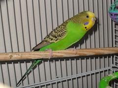 bird budgie parakeet kiwi