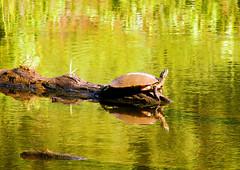 sunning (bdaryle) Tags: lake nature reflections turtle sony sunning brandondaryle bdaryle imagesbybrandon