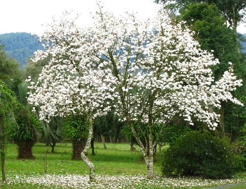 Magnólia japonesa branca