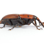 Rhynchophorus ferrugineus thumbnail