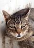 Sofia - expressive (kaibara87) Tags: cats beauty face animal animals cat eyes zoom sofia expression whiskers expressive neko 1855 猫