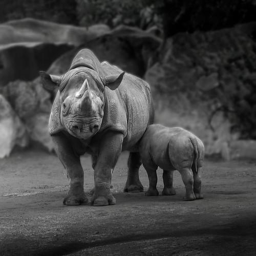 [フリー画像] 動物, 哺乳類, サイ科, 犀・サイ, 家族・親子(動物), モノクロ写真, 201009080500