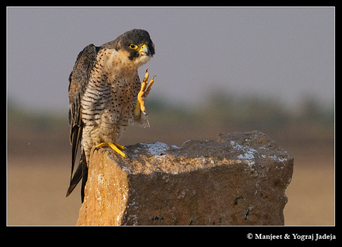 Peregrine Falcon (Falco peregrinus) scratching