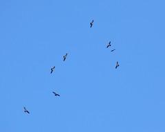 Mississippi Kites - 3