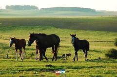 pampas tch (Laura Torres do Couto) Tags: rio rural grande campo cavalos animais rs cavalo sul pampas fazenda campanha gaucho gacho equino tch
