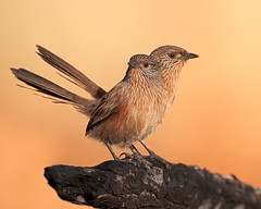 Two-headed two-tailed four-footed Dusky Grasswren (very rare) (Jon Thornton) Tags: australia places northernterritory alicesprings australianbirds passeriformes maluridae amytornispurnelli duskygrasswren