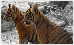 Sumatran Tiger Cubs (FurBabyLuv *Finally back Online) Tags: