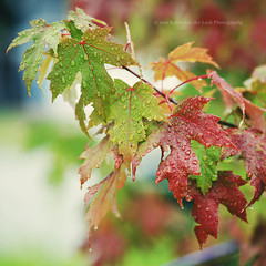 coming this fall. (kvdl) Tags: leaves rain maple september fallcolours canonef85mmf18usm kvdl tgamphotodeskcolour