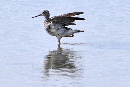 Dance of the Yellowlegs 1