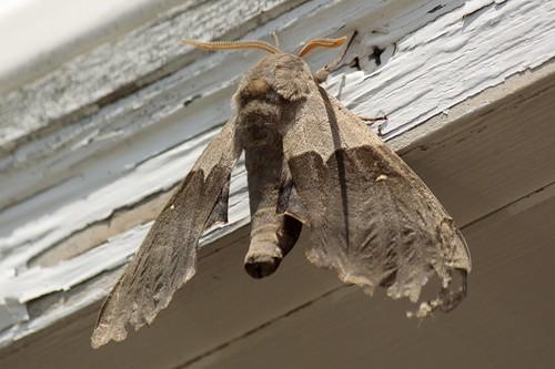 Modest Sphinx moth (3)