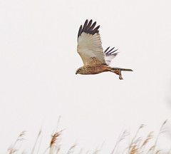 Marsh Harrier, with dinner for the kids. (Andrew Haynes Wildlife Images) Tags: bird nature wildlife norfolk nwt marshharrier cleymarsh canon7d ajh2008