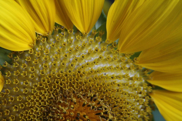 Sunflower 2