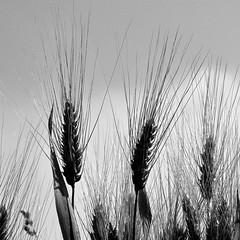 blé noir (lachaisetriste) Tags: blackandwhite bw nature nikon noiretblanc nb paysage campagne champ blé touraine épi d700 expressyourselfaward 4tografie