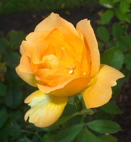 September 11 Rose